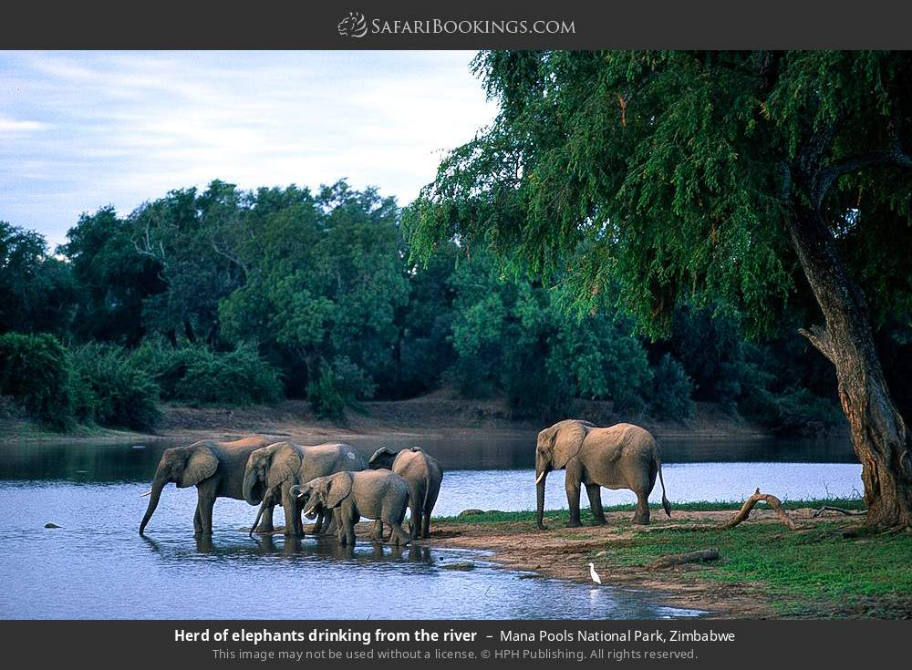 Herd of elephants drinking from the river in Mana Pools National Park, Zimbabwe
