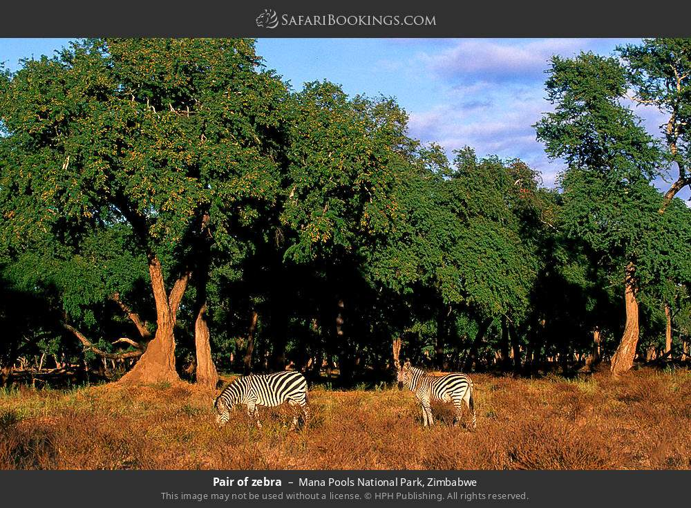 Pair of zebra in Mana Pools National Park, Zimbabwe