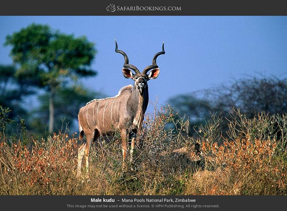 Male kudu in Mana Pools National Park, Zimbabwe