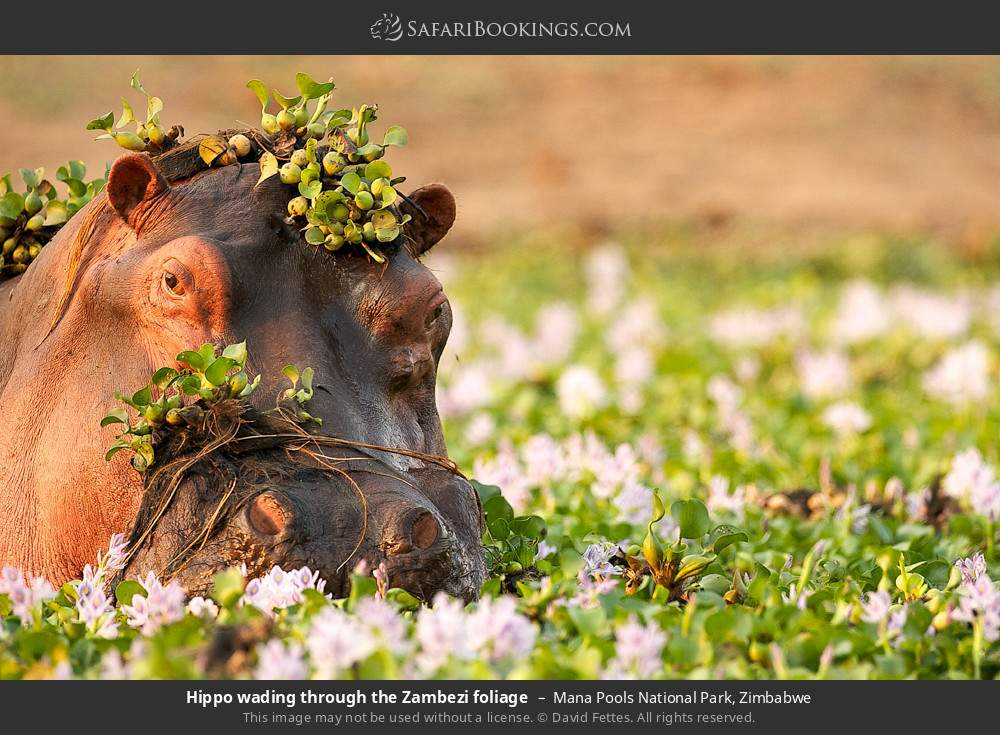 Hippo wading through the Zambezi foliage in Mana Pools National Park, Zimbabwe