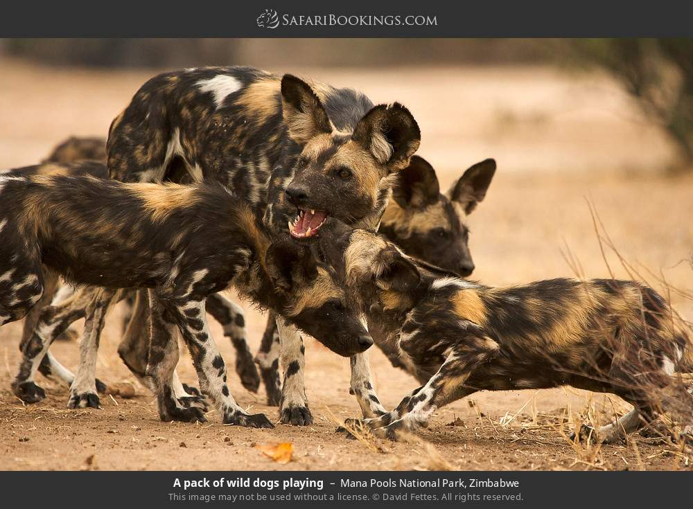 A pack of wild dogs playing in Mana Pools National Park, Zimbabwe