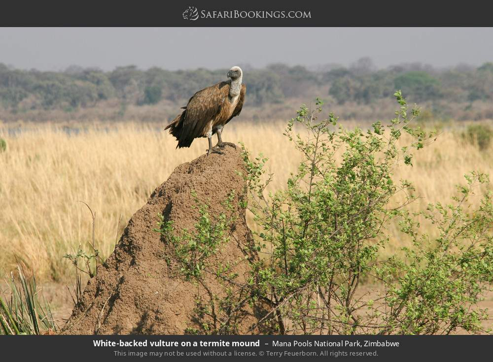 White-backed vulture on a termite mound in Mana Pools National Park, Zimbabwe