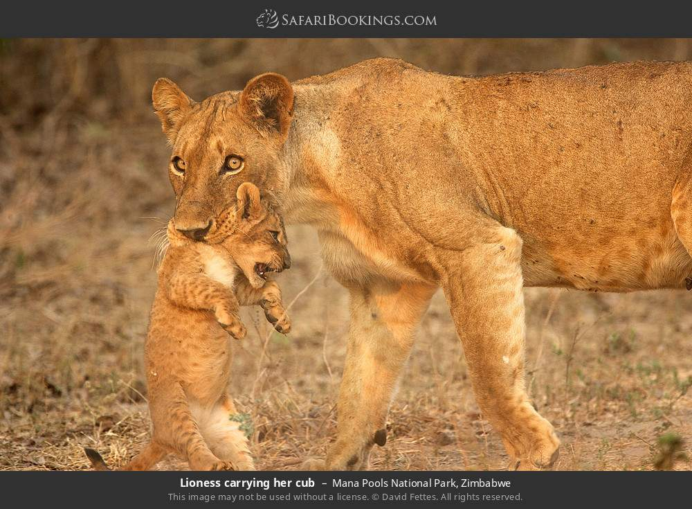 Lioness carrying her cub in Mana Pools National Park, Zimbabwe