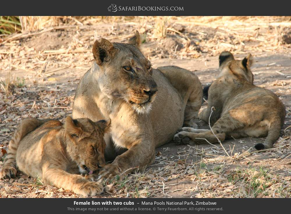 Female lion with two cubs in Mana Pools National Park, Zimbabwe