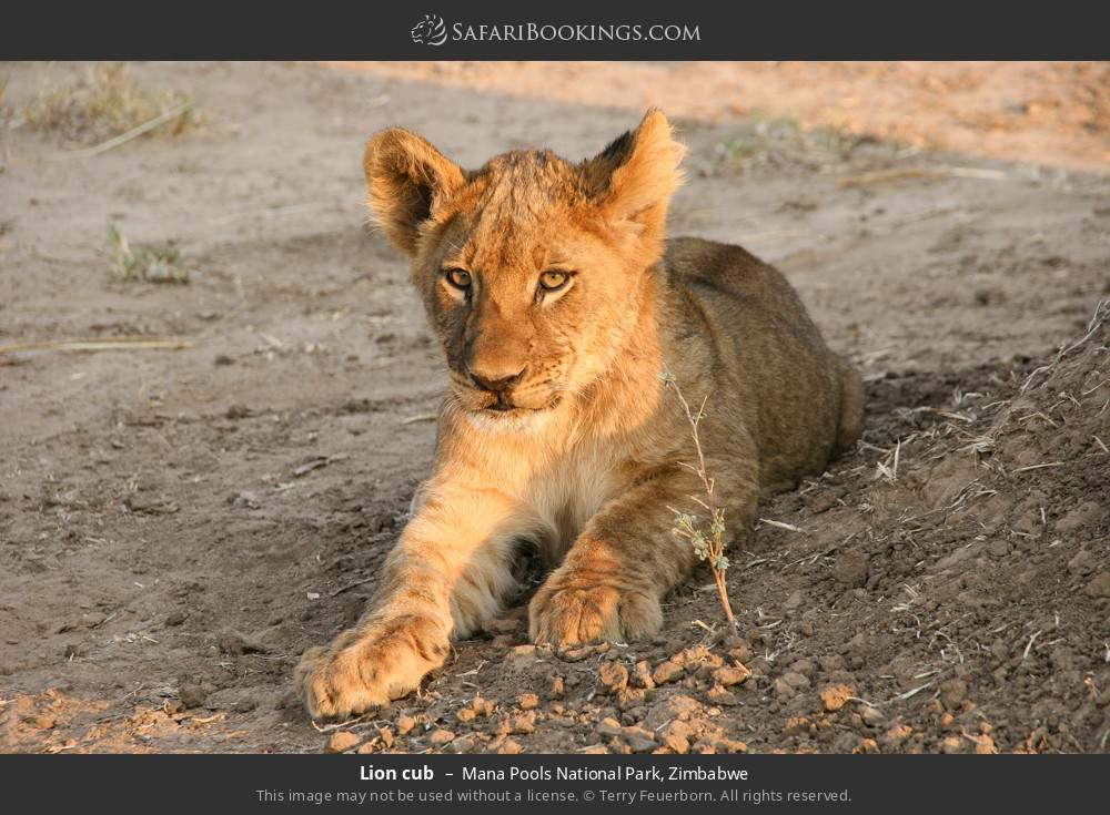 Lion cub in Mana Pools National Park, Zimbabwe