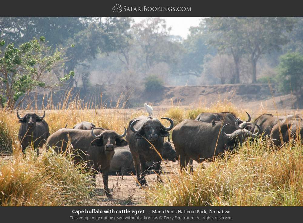 Cape buffalo with cattle egret in Mana Pools National Park, Zimbabwe