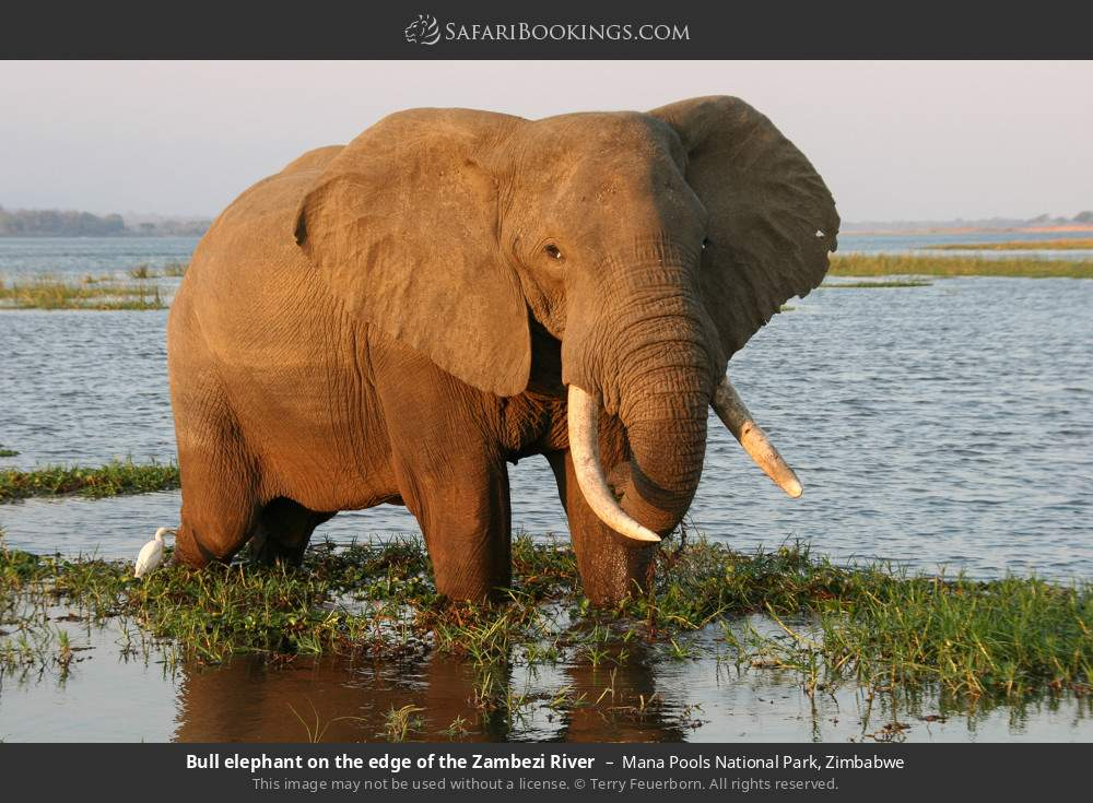 Bull elephant on the edge of the Zambezi river in Mana Pools National Park, Zimbabwe