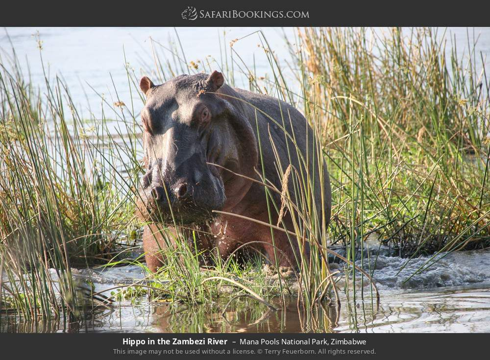 Hippo in the Zambezi river in Mana Pools National Park, Zimbabwe