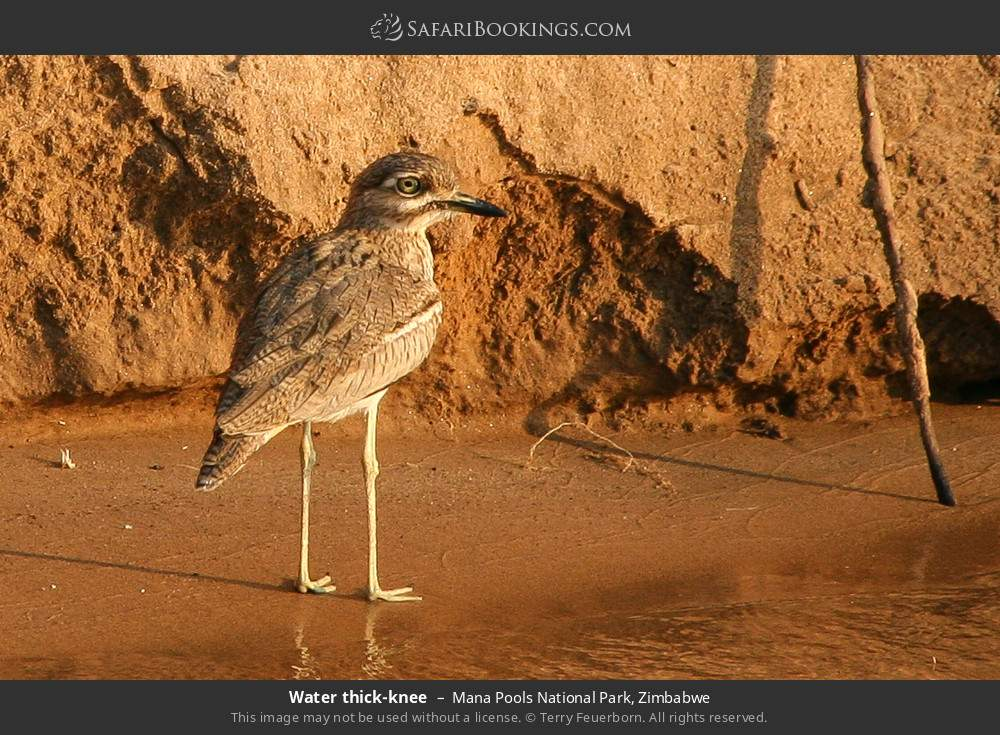 Water thick-knee in Mana Pools National Park, Zimbabwe
