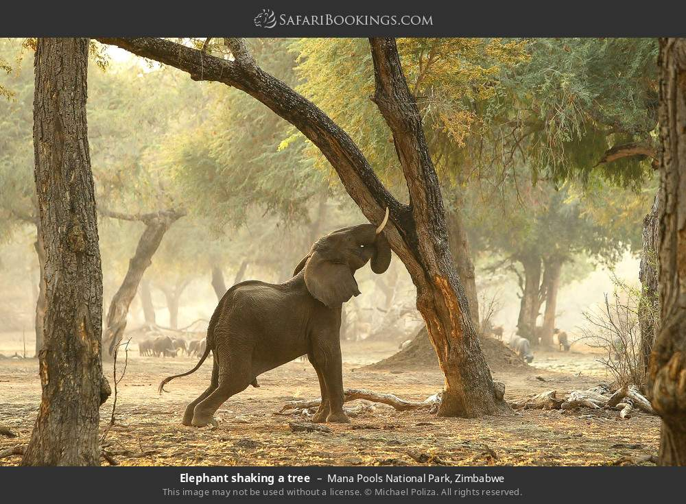 Elephant shaking a tree in Mana Pools National Park, Zimbabwe