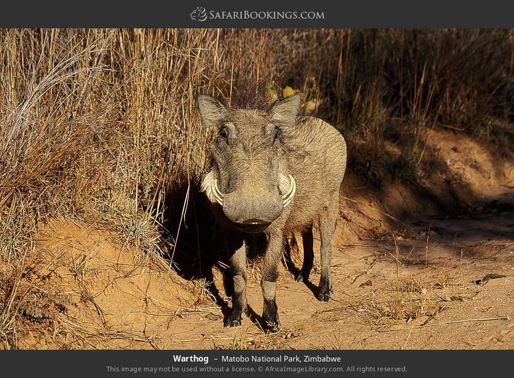Warthog in Matobo National Park, Zimbabwe