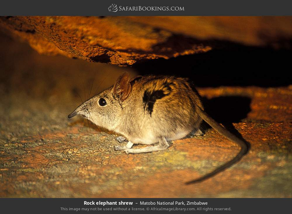 Rock elephant shrew in Matobo National Park, Zimbabwe