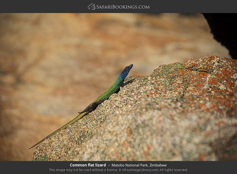 Common flat lizard in Matobo National Park, Zimbabwe