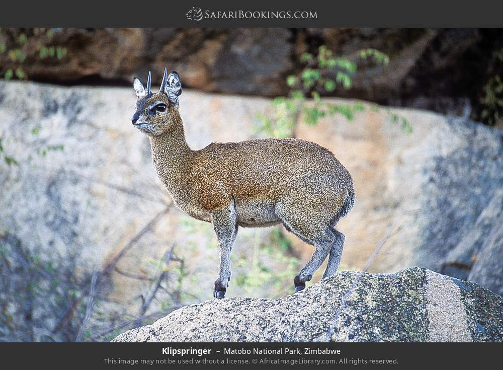 Klipspringer in Matobo National Park, Zimbabwe