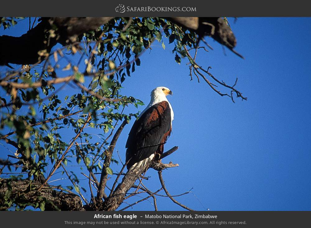 African Fish Eagle in Matobo National Park, Zimbabwe