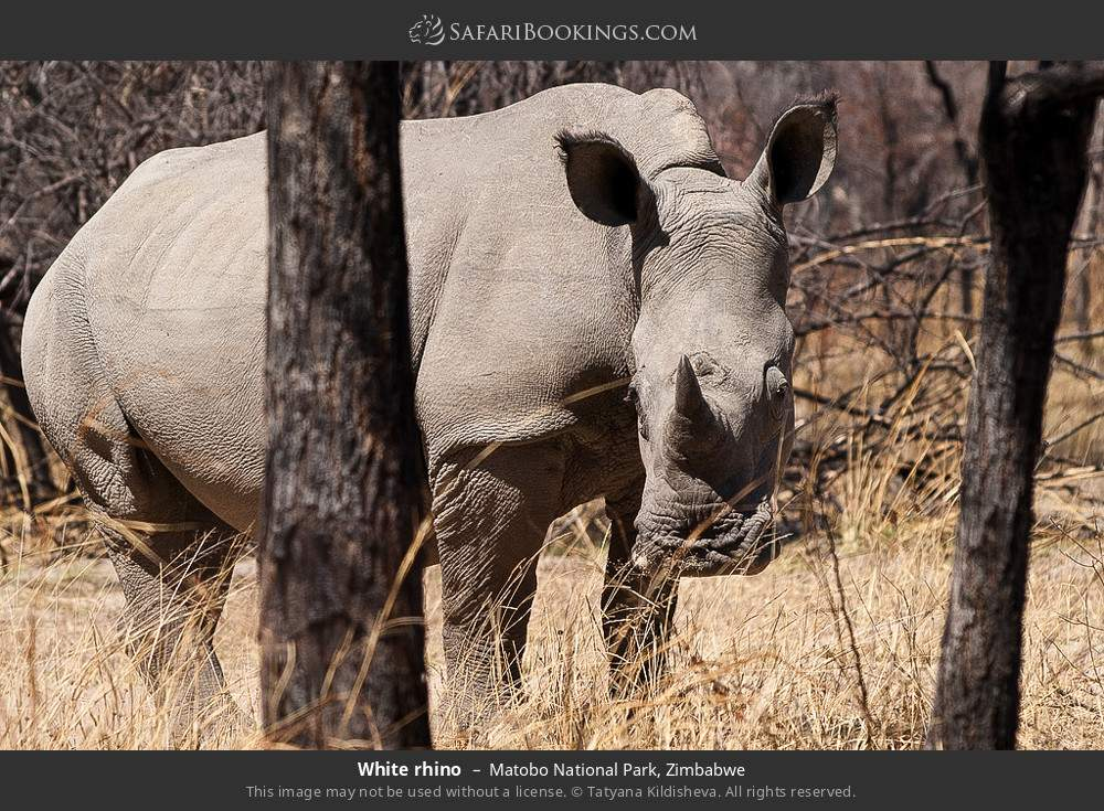 White rhino in Matobo National Park, Zimbabwe