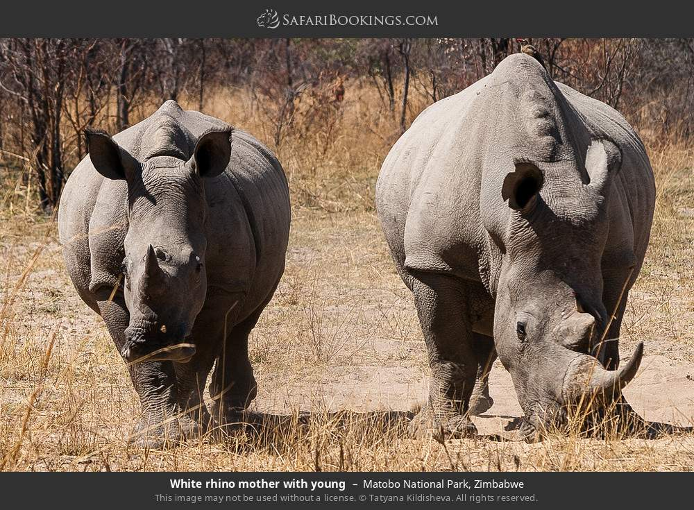 White rhino mother with young in Matobo National Park, Zimbabwe