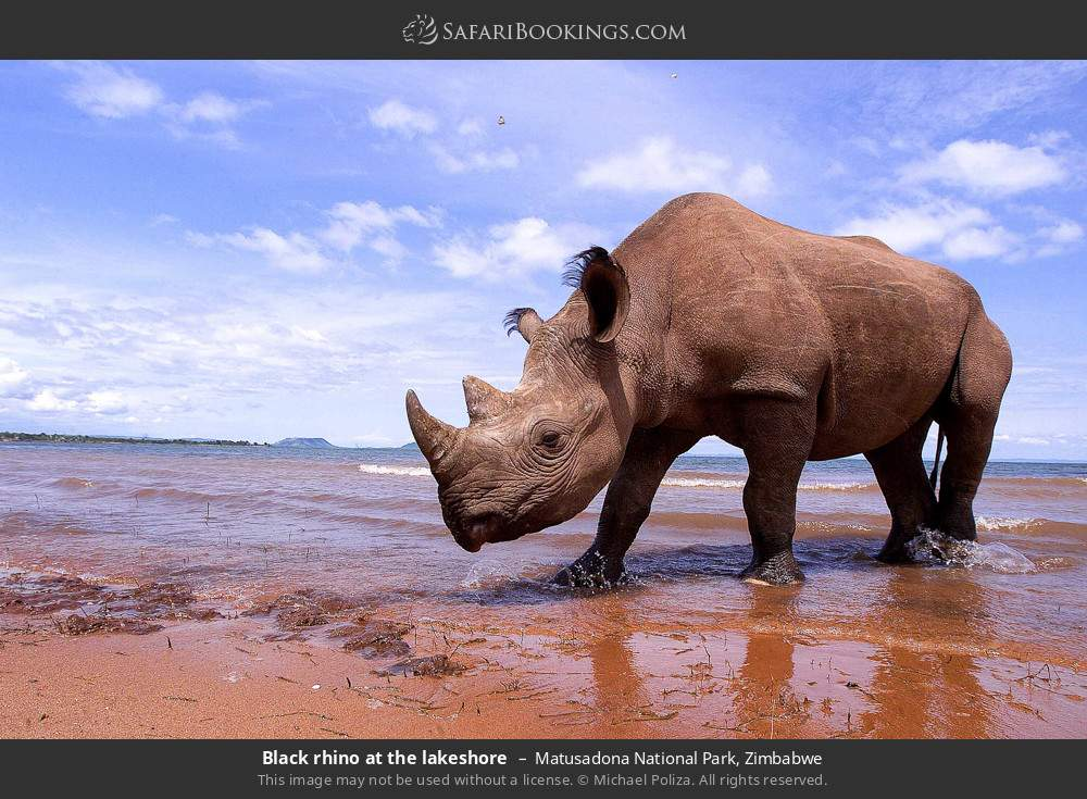 Black rhino at the lake shore in Matusadona National Park, Zimbabwe