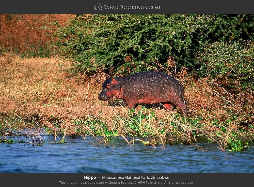 Hippo in Matusadona National Park, Zimbabwe