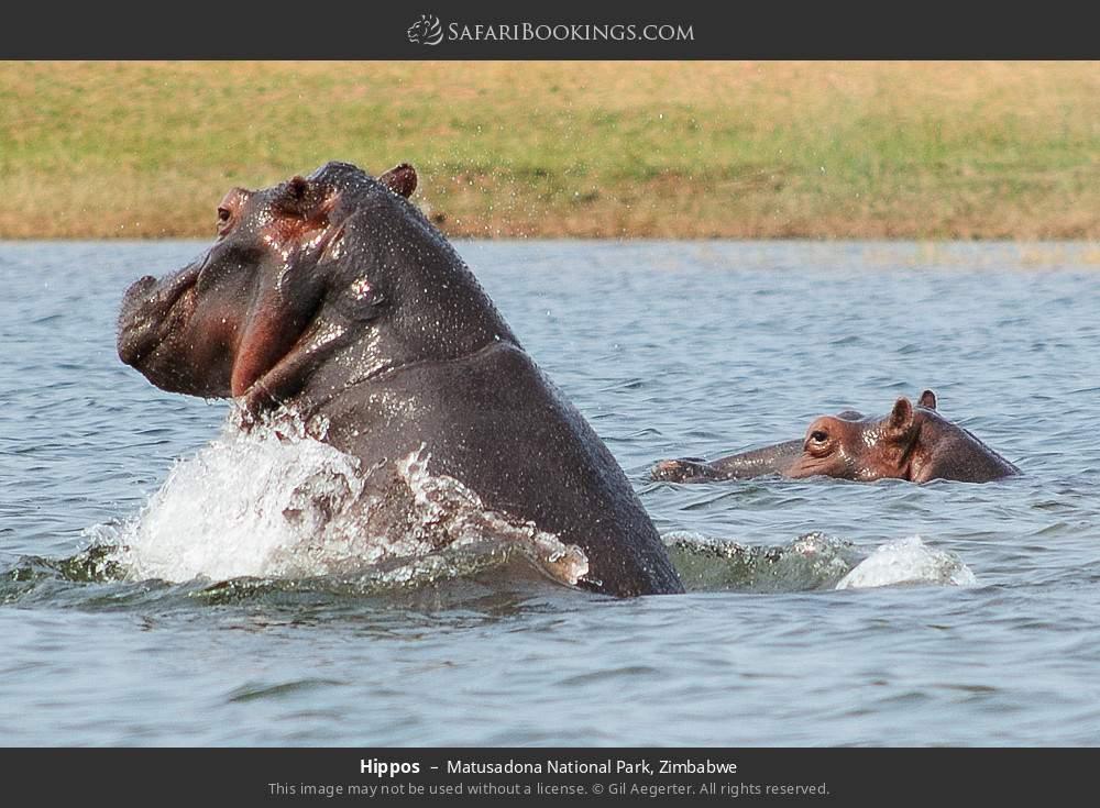 Hippos in Matusadona National Park, Zimbabwe