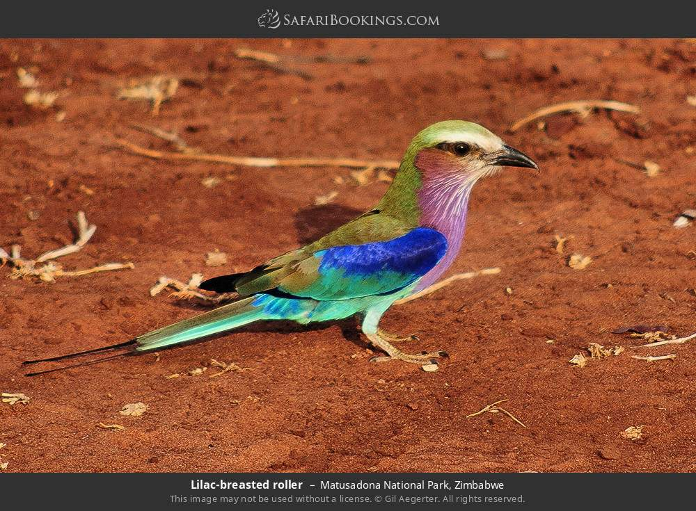 Lilac-breasted roller in Matusadona National Park, Zimbabwe