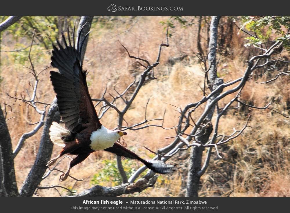 African fish eagle in Matusadona National Park, Zimbabwe