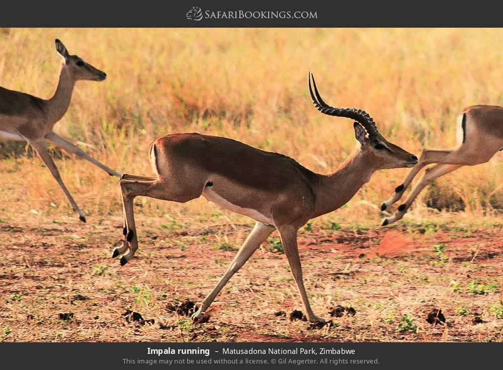 Impala running in Matusadona National Park, Zimbabwe