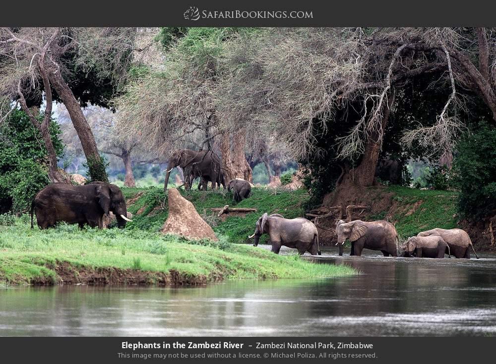 Elephants in the Zambezi River in Zambezi National Park, Zimbabwe