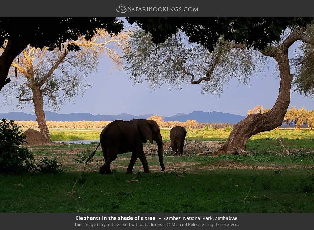 Elephants in the shade of a tree in Zambezi National Park, Zimbabwe