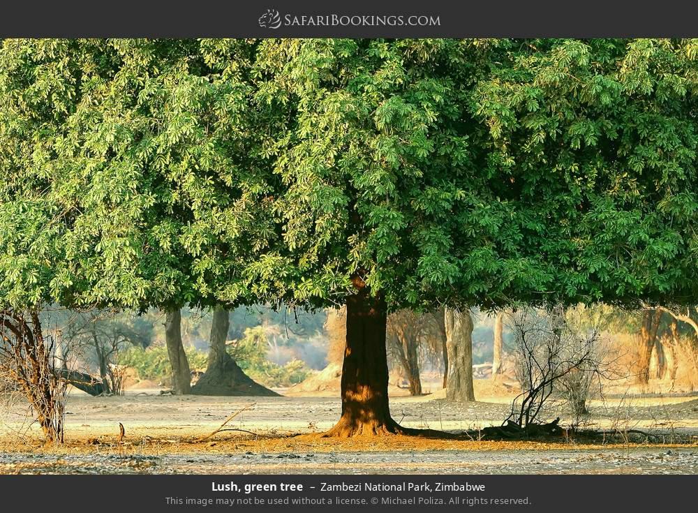Lush, green tree in Zambezi National Park, Zimbabwe