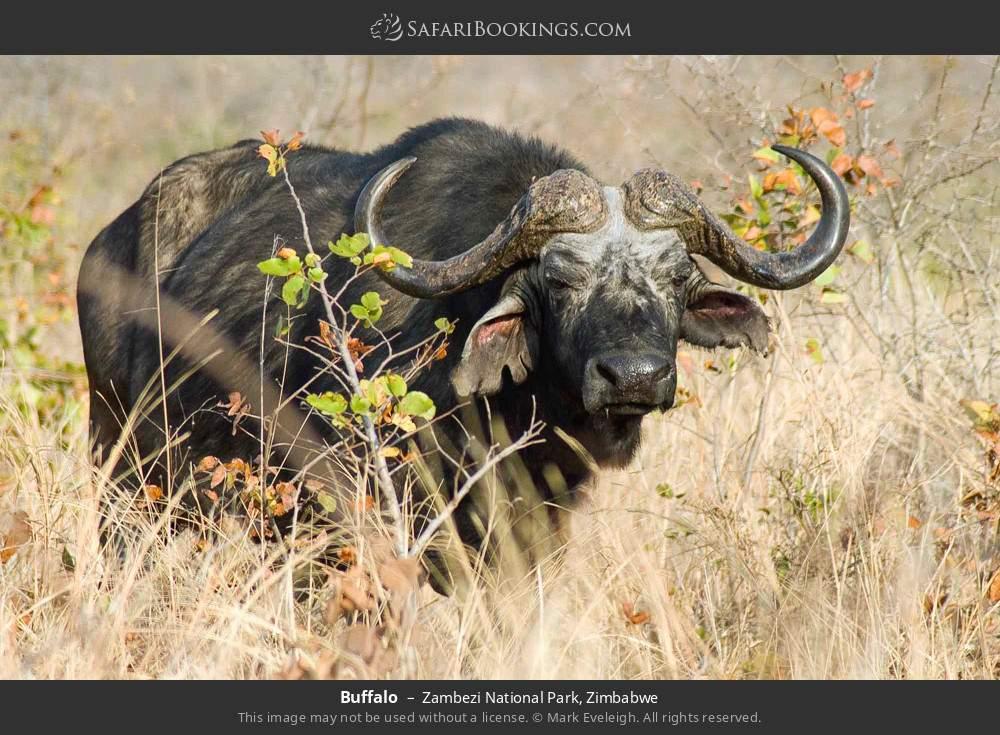Buffalo in Zambezi National Park, Zimbabwe