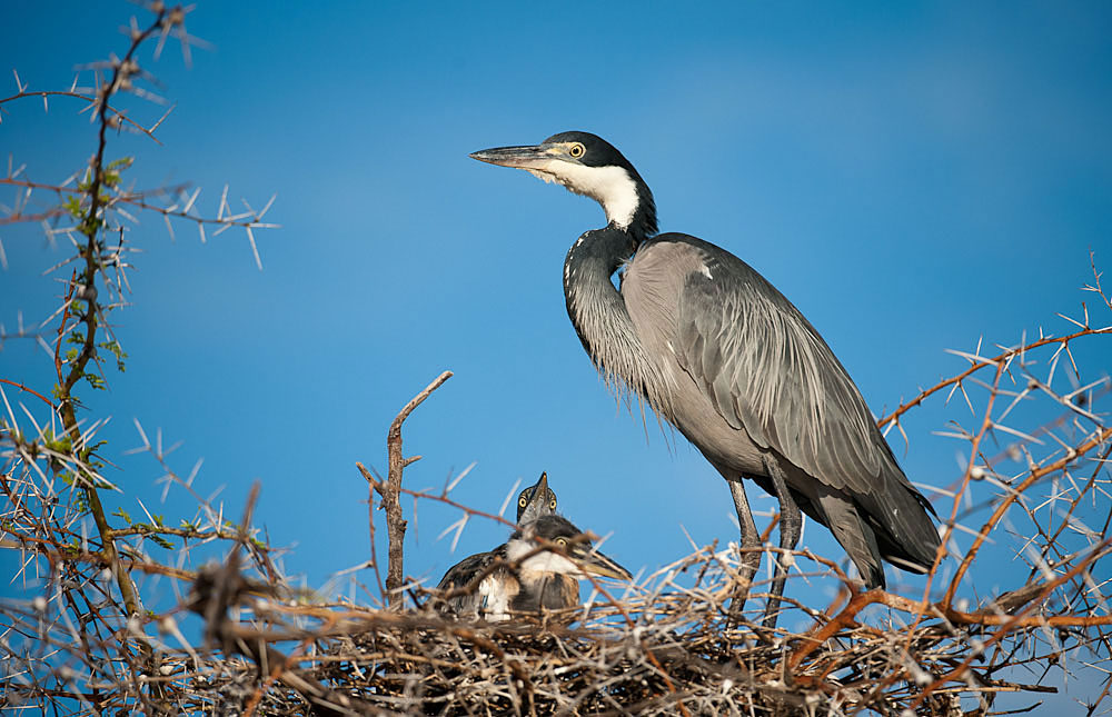 Garças do mundo Black-headed_heron