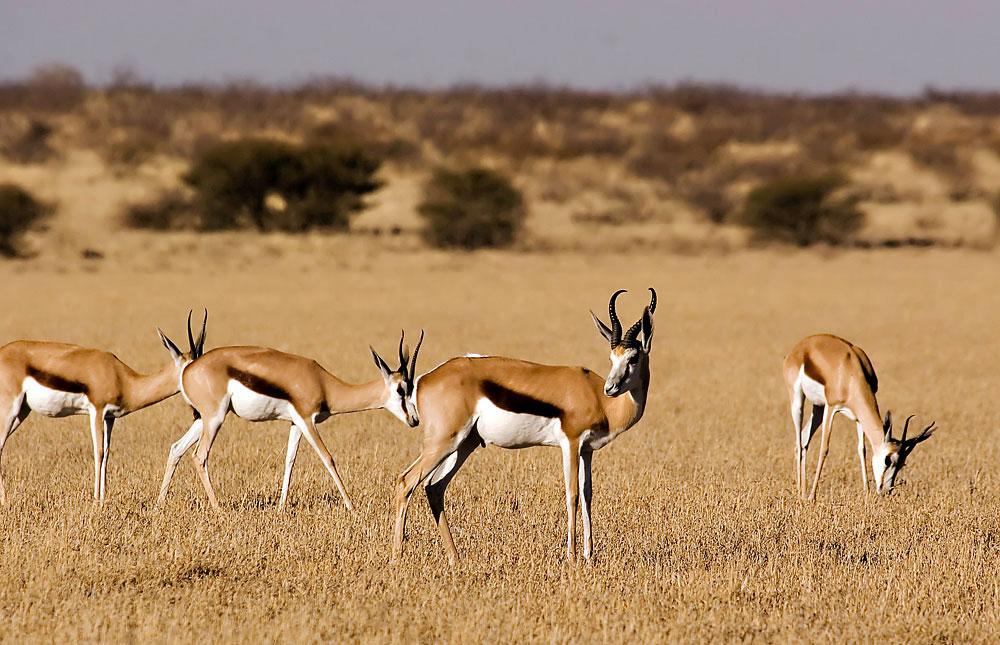 Central Kalahari GR Photos – Images & Pictures