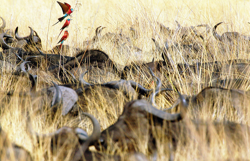 Carmine bee-eaters attracted to insects near a herd of buffalo in Okavango Delta, Botswana