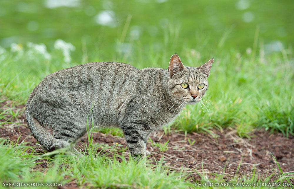 Amboseli National Park Kenya  City new picture : African wildcat in Amboseli National Park, Kenya