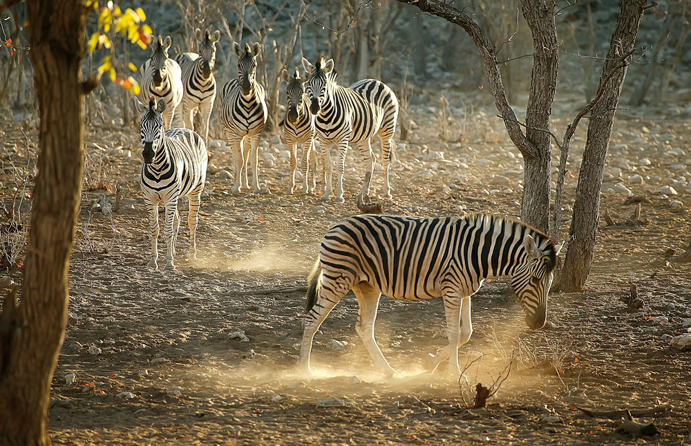 Zebra kicking  up dust in a forested area in Etosha National Park, Namibia