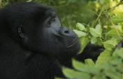 3-Day Fly-in Gorilla Tracking Tour