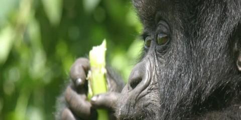 4-Day Dian Fossey Memorial