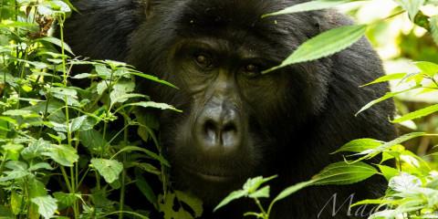 8-Day Gorillas & Primates