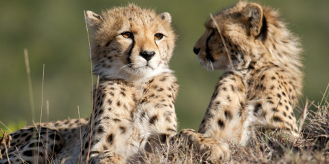 8-Day Classic Cheetah Safari