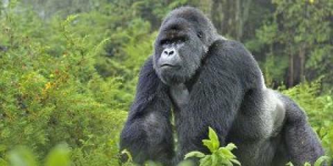2-Day Gorilla Tracking