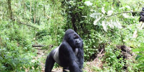 3-Day Lowland Gorilla Trekking in Kahuzi-Biega NP