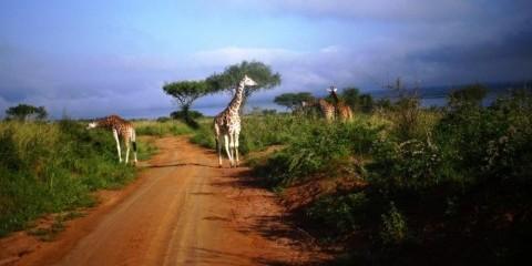 14-Day Uganda Wildlife Safari - Comfort