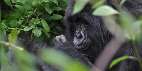5-Day Rwanda Gorilla Trekking