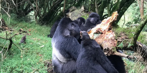 3-Day Fly-in, Fly-out Gorilla Tracking in Uganda