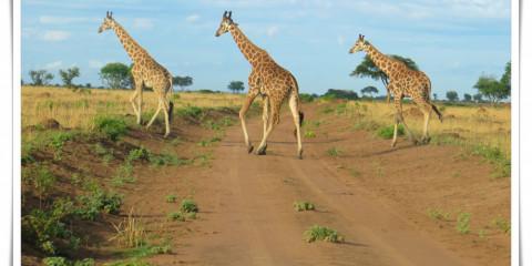 7-Day Murchison, Queen & Kibale National Parks Tour