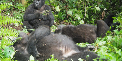 11-Day The Ultimate Primate Safari to Rwanda and Uganda