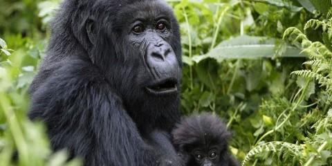 7-Day Gorilla & Chimpanzee Tracking and Safari
