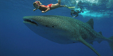 1-Day Fly in Whale Sharks Adventure to Mafia Island