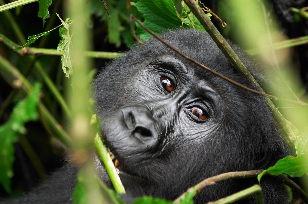Uganda - Comfort - Fly-in Gorilla Tour